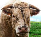 Portrait d'un taureau.