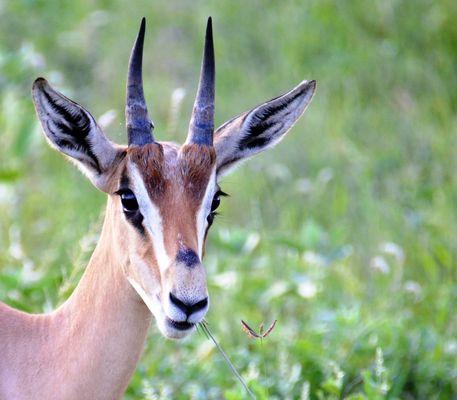 Portrait d'une gazelle de Thomson