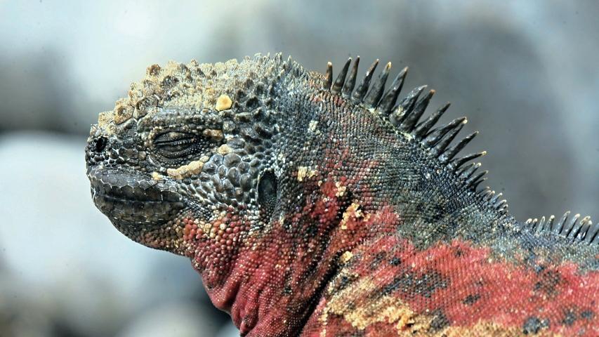 Portrait einer Galapagosechse