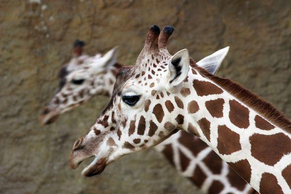 Portrait einer Giraffe