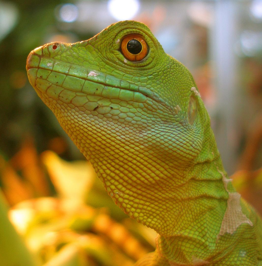 Portrait einer grünen Echse, (Stirnlappenbasilisk, weiblich)