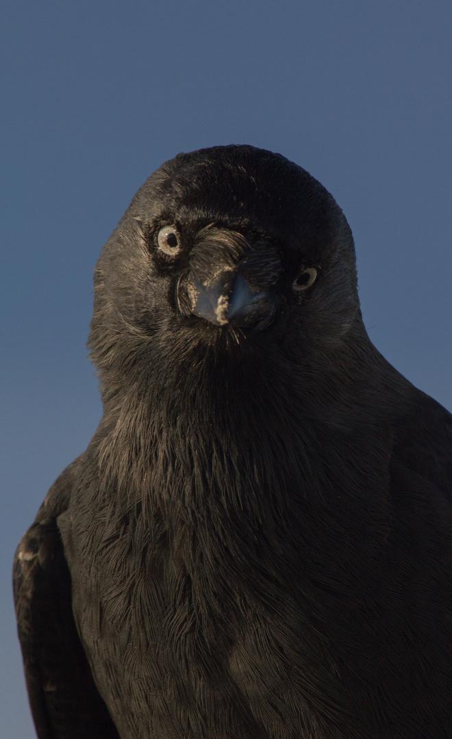 Portrait einer Krähe