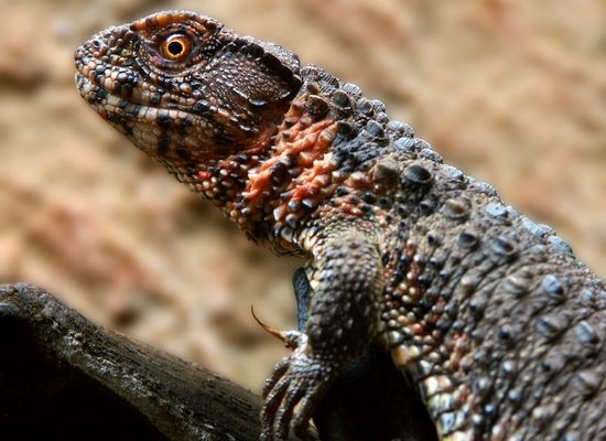 Portrait einer Krokodilschwanzhöckerechse