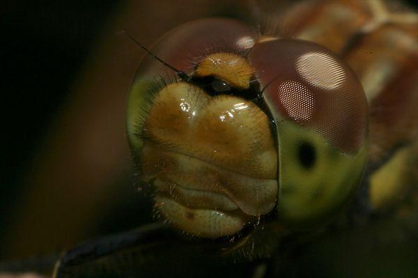 Portrait einer Libelle