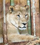 Portrait einer Löwin