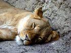 Portrait einer Löwin (Panthera Leo)