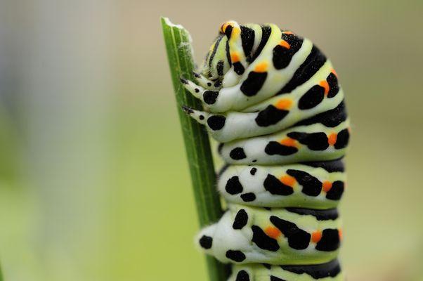 Portrait einer Raupe des Schwalbenschwanzes (Papilio machaon)