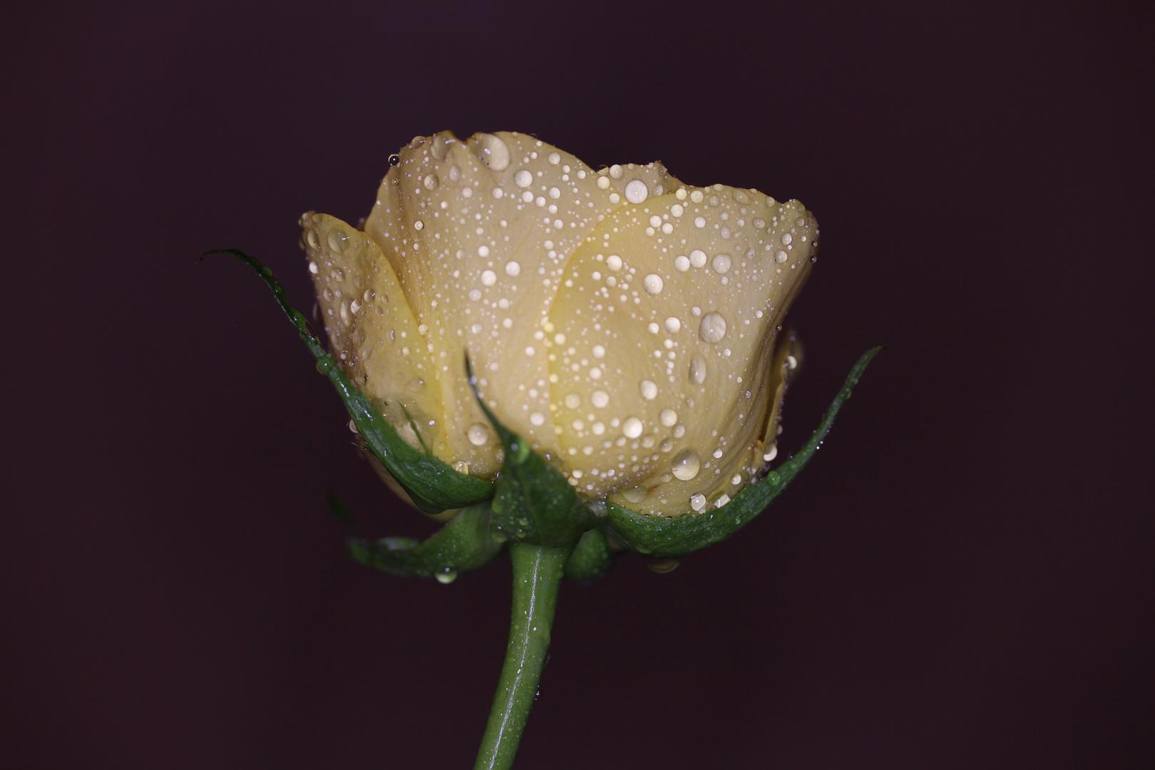 Portrait einer Rose