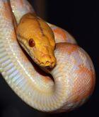 Portrait einer Schlange
