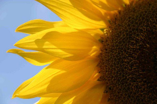 Portrait einer Sonnenblume