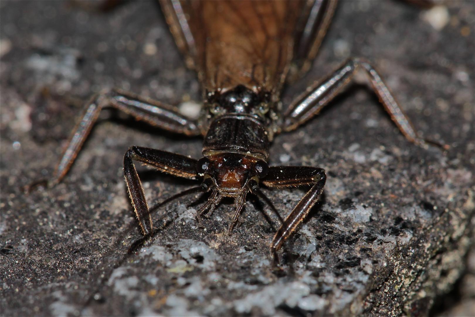 Portrait einer Steinfliege (Ordnung Plecoptera)