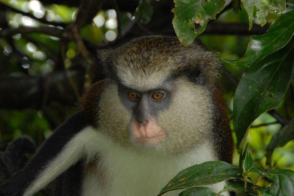 Portrait eines Affen