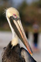 Portrait eines Braunen Pelikans