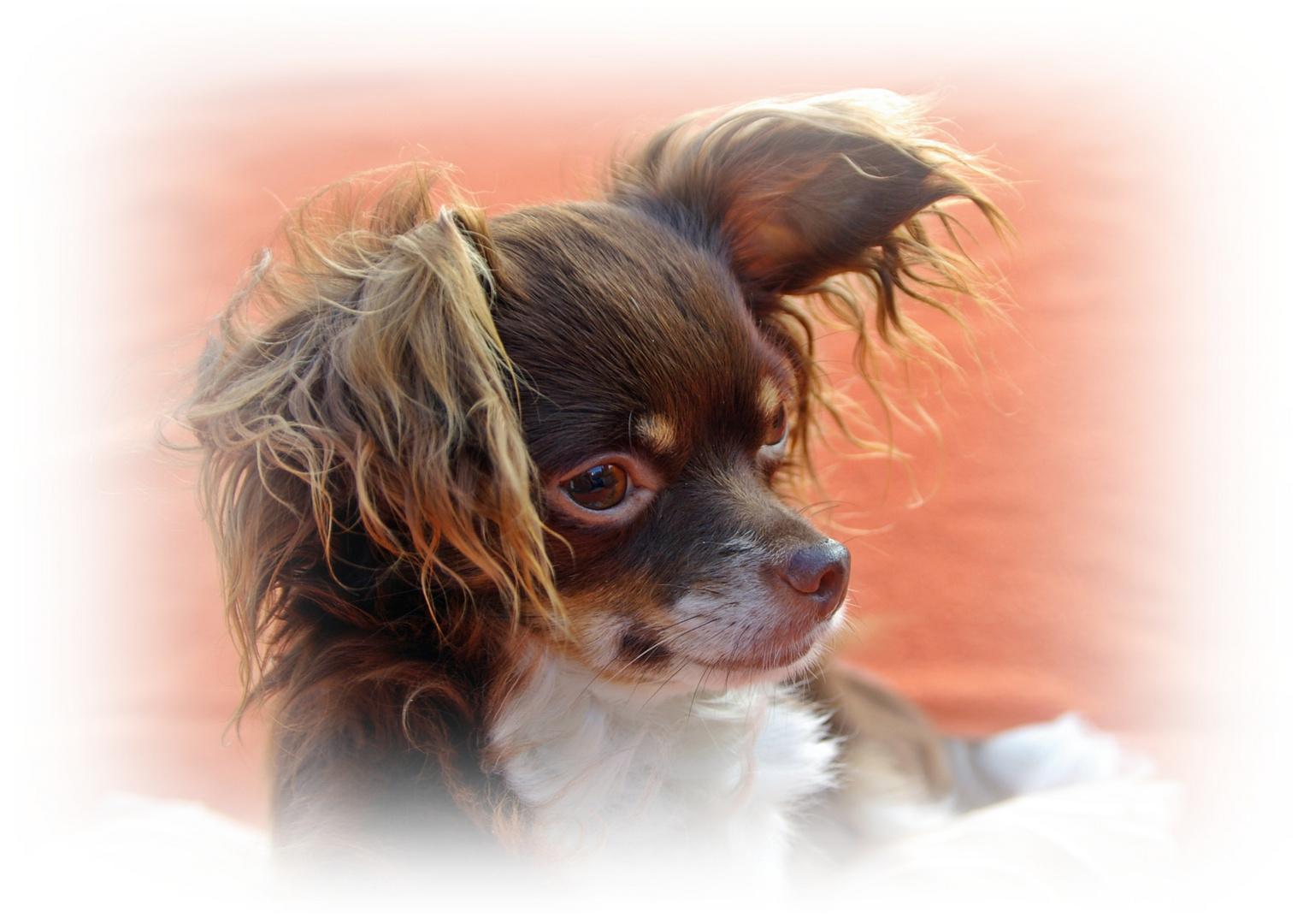 Portrait eines Chihuahua