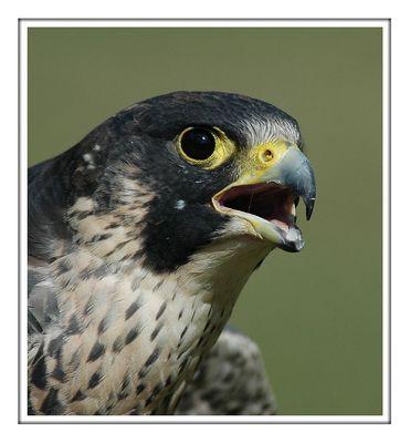 Portrait eines Falkens