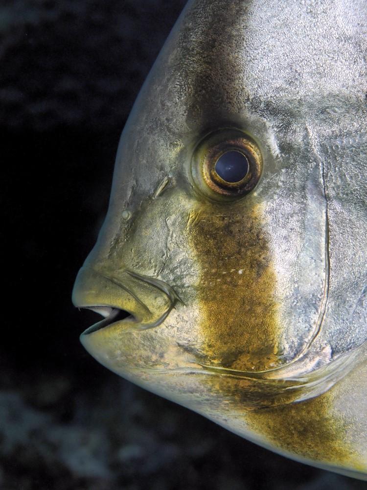 Portrait eines Fledermausfischs in der Mangrove Bay