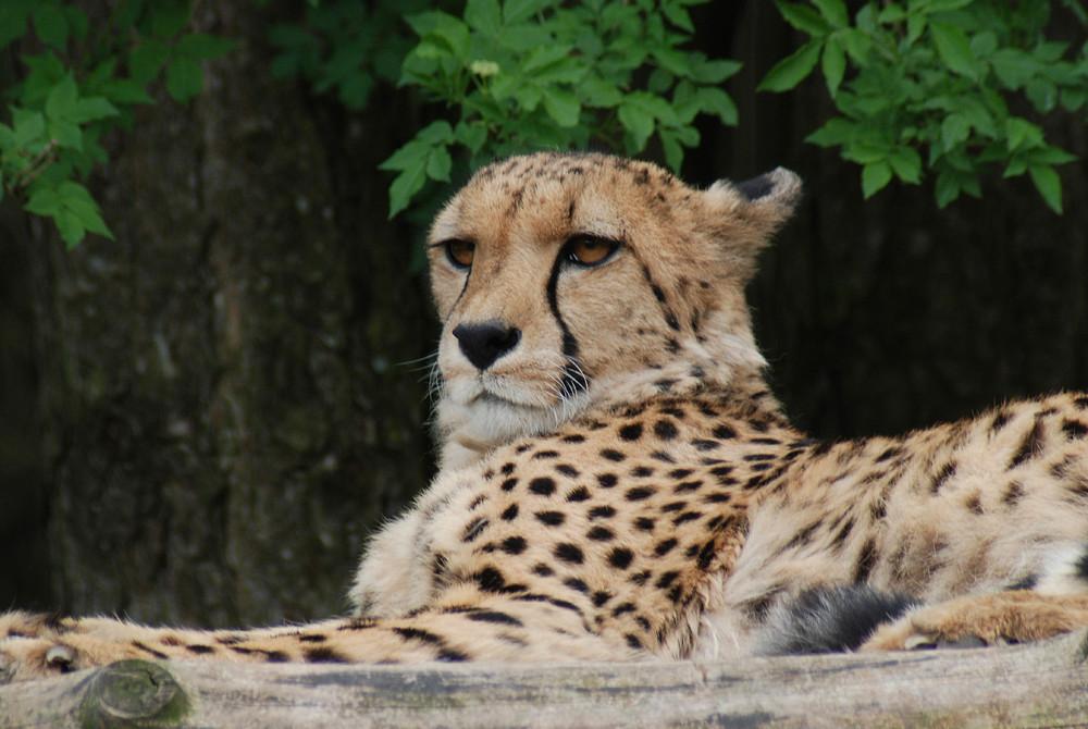 Portrait eines Geparden