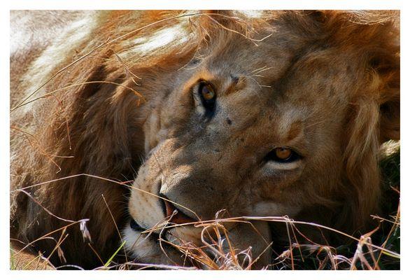 Portrait eines Löwen