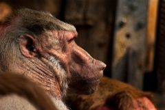 Portrait eines männlichen Mantelpavians im Zoologischen Garten Krefeld