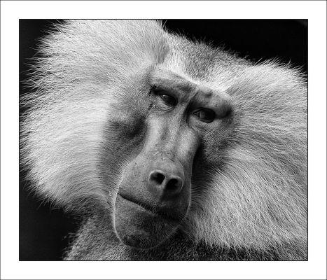 Portrait eines Mantel Pavian