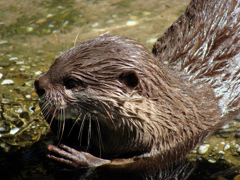 Portrait eines Otter (Lutrinae)