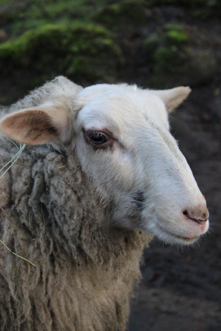 Portrait eines Schafes