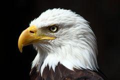 Portrait eines Seeadler