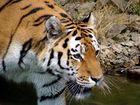 Portrait eines Tiger (Panthera Tigris)