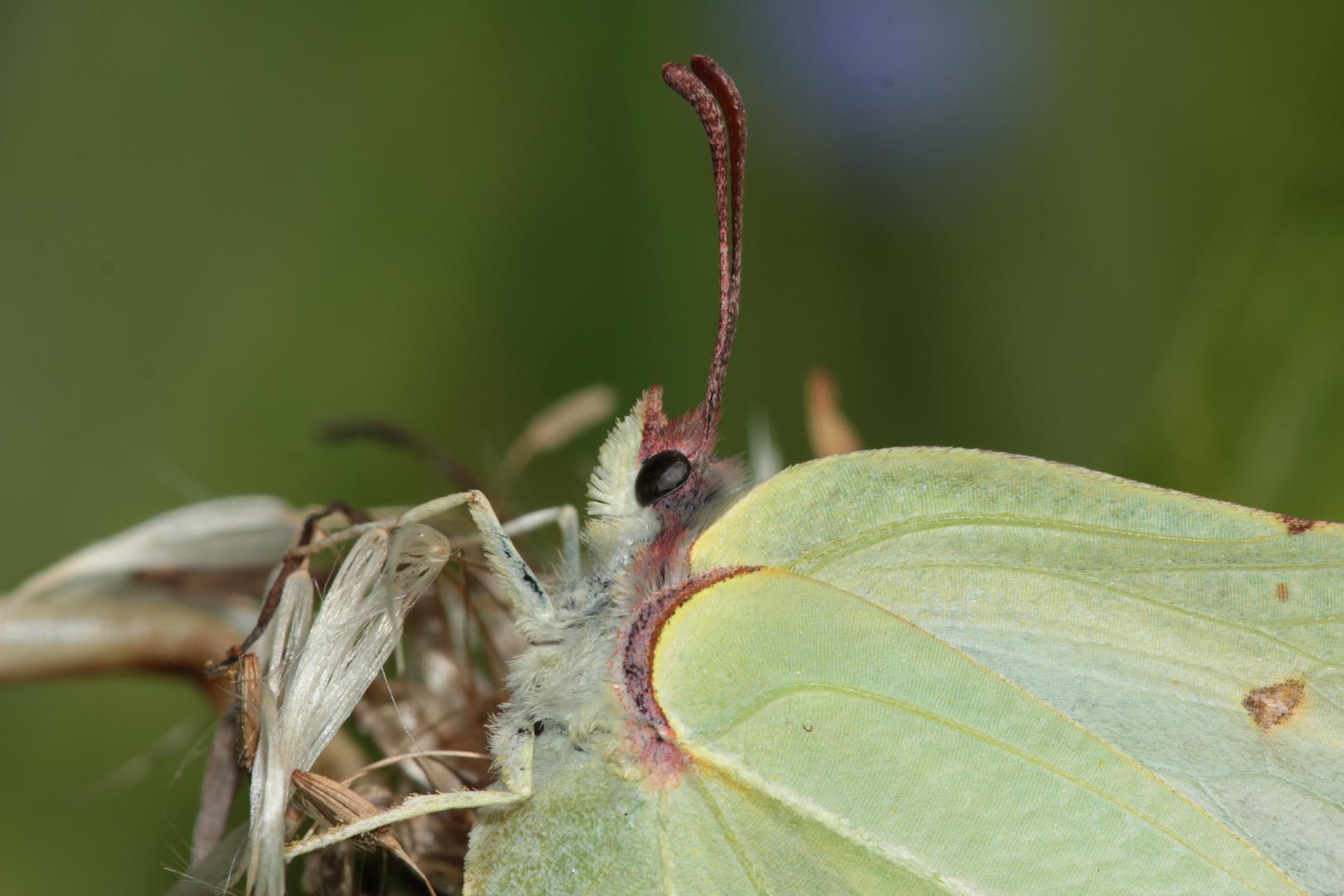 Portrait eines weiblichen Zitronenfalters (Gonepteryx rhamni) - FÜR KARL . . .