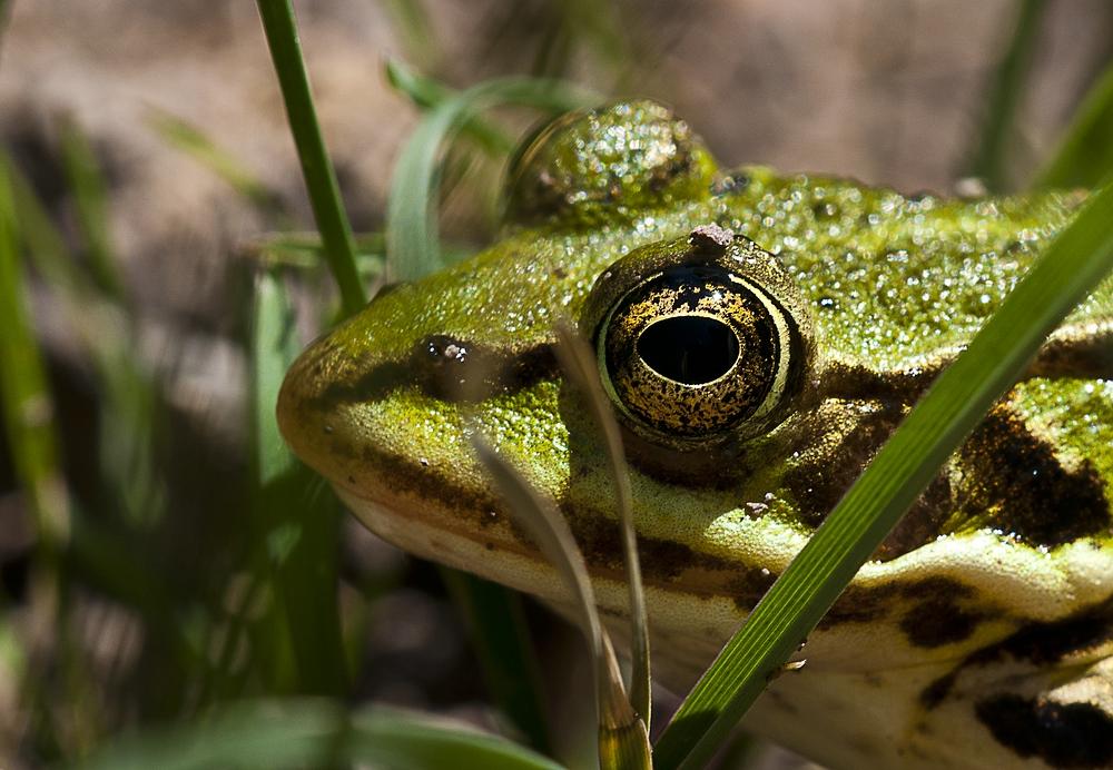 Portrait Frosch