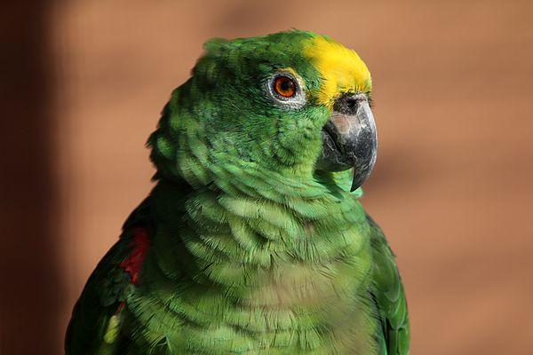 Portrait Gelbscheitel Amazone