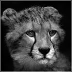 Portrait junger Gepard