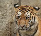 Portrait junger Sibirischer Tiger