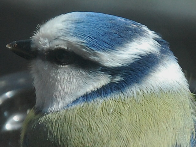 Portrait mésange bleue (4)