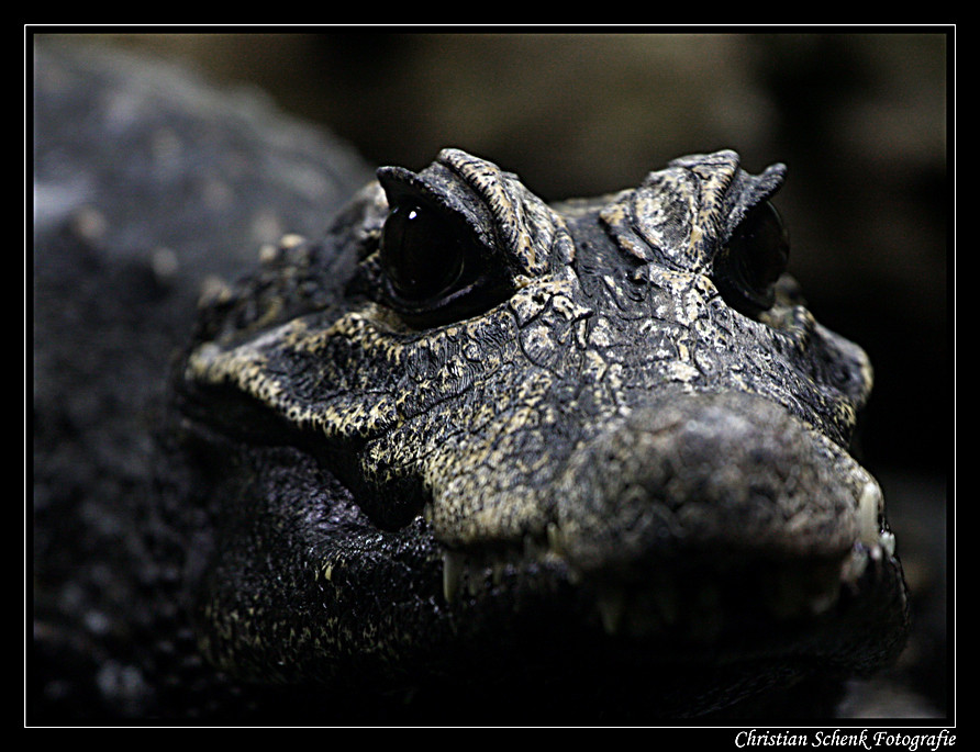 **portrait of a crocodile**
