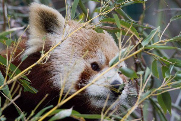 Portrait Panda