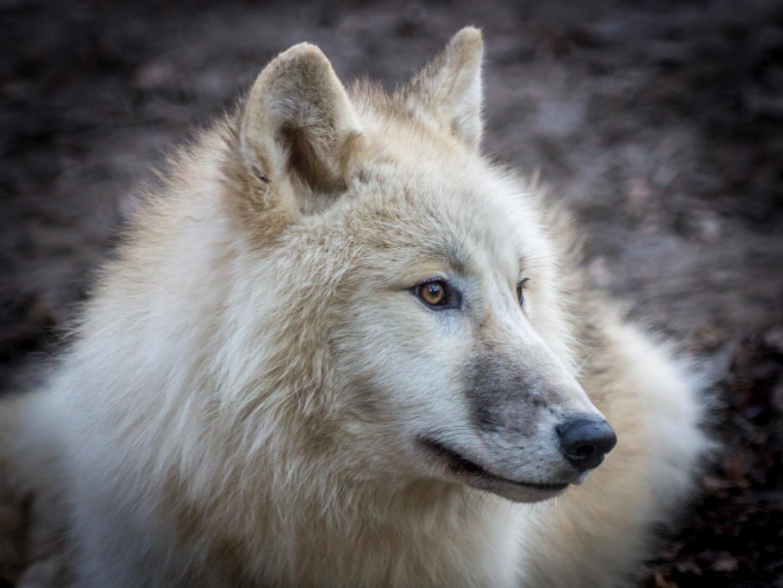 Portrait Polarwolf