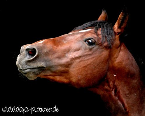 Portrait Quarter Horse
