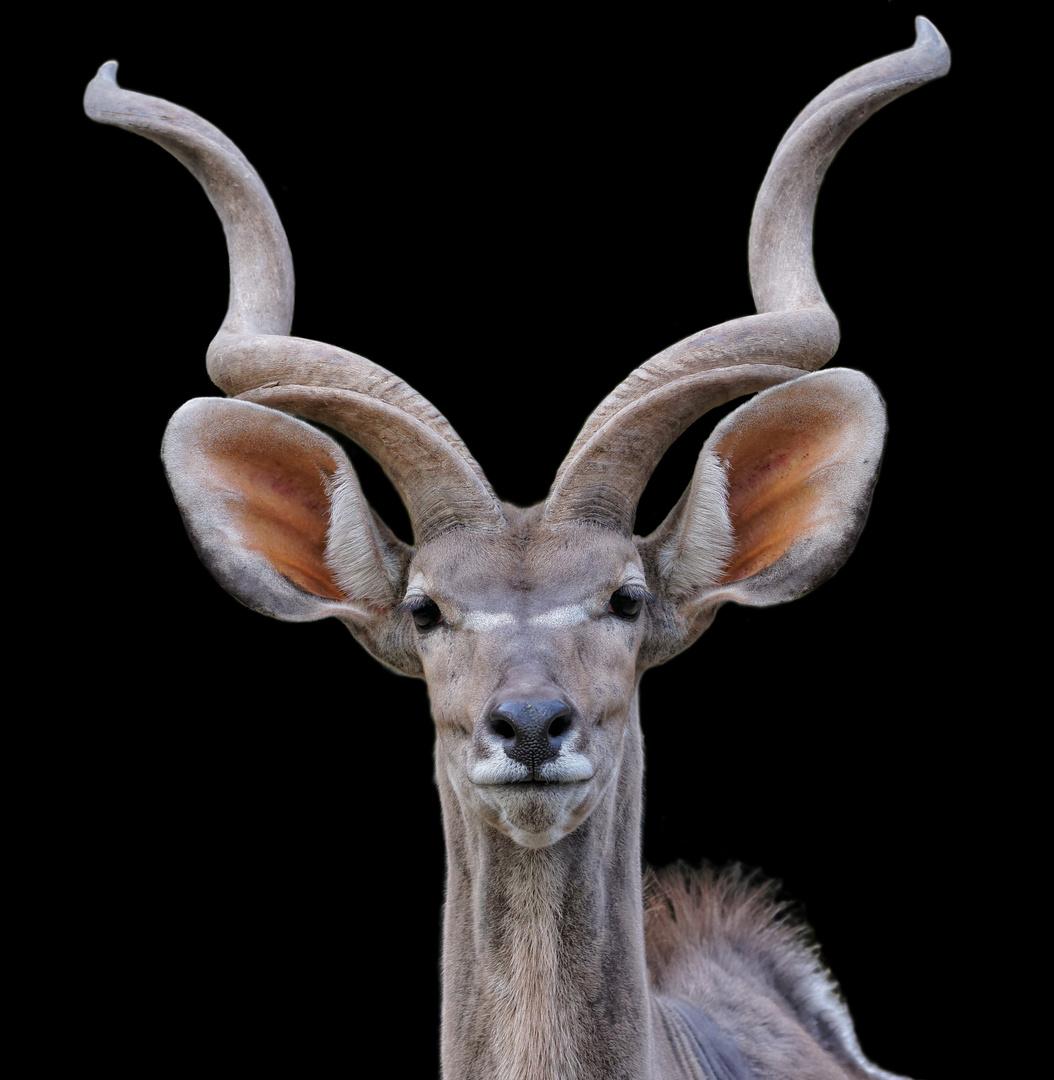 Portrait vom großen Kudu