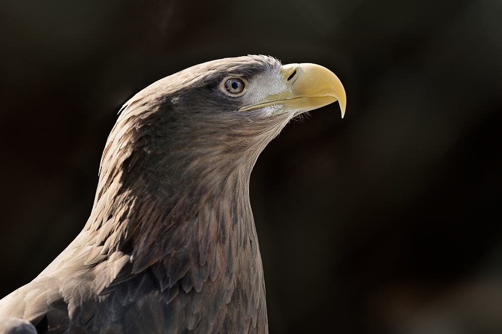Portrait vom Seeadler