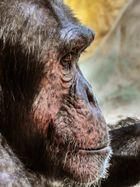 Portrait von einem Schimpansen