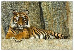Portrait von einem Tiger