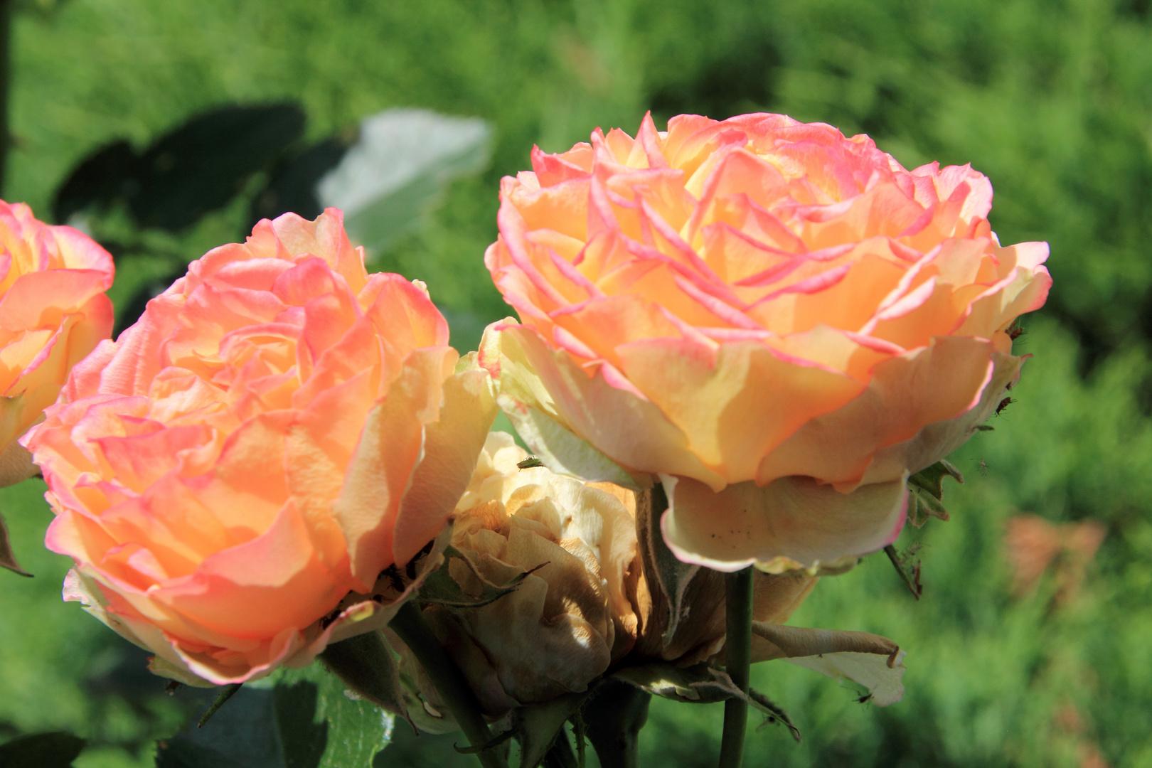 Portrait von Rosenblüten