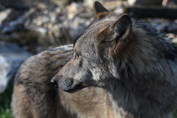 Portrait Wolf