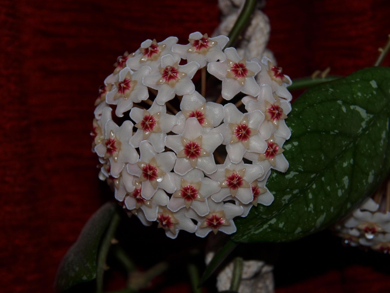 Porzellan- oder Wachsblume