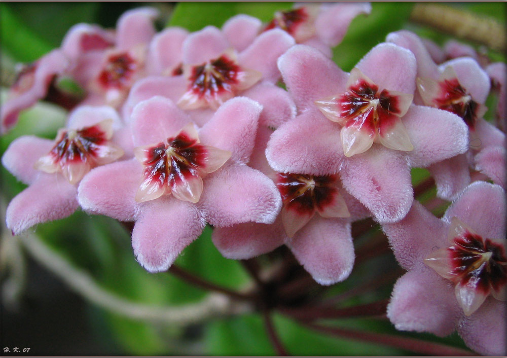 Porzellanblume - Hoya carnosa