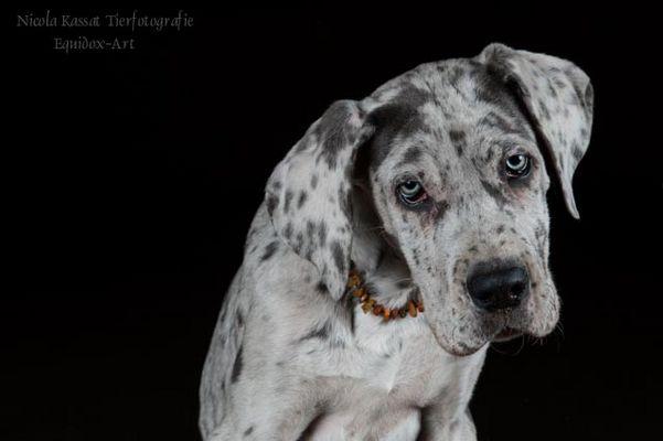 Porzellantiger Doggenwelpe