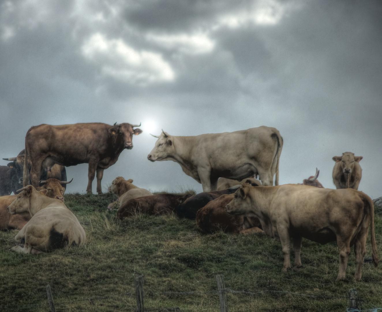 Pose bovine