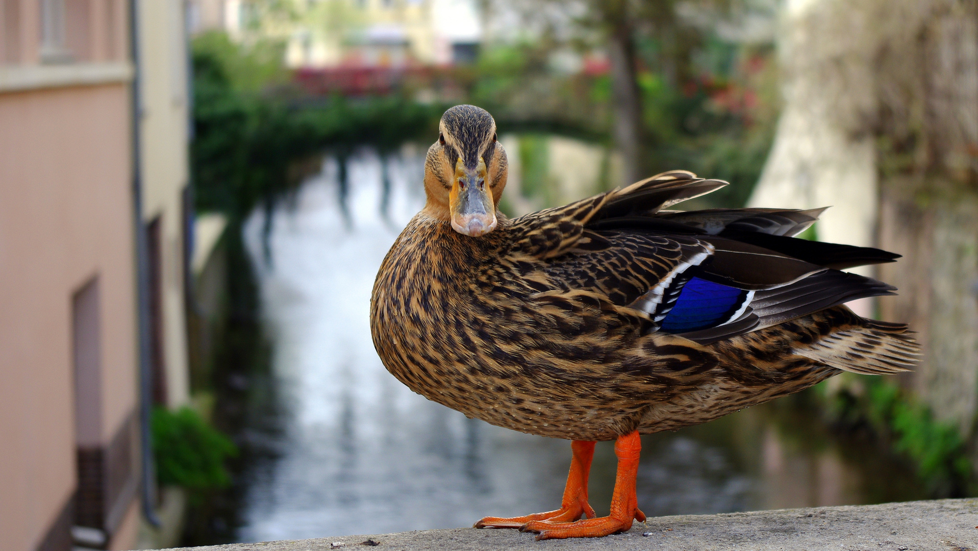 Pose canard, Just for the pic...