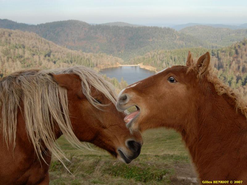 pose de chevaux hautes Vosges